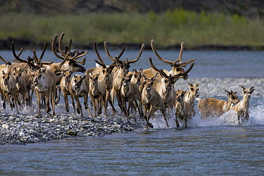 Caribou (Rangifer tarandus) herd crossing a Kongakut River during summer migration, Arctic National Wildlife Refuge, Alaska  -  Ingo Arndt