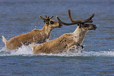 Caribou (Rangifer tarandus) pair crossing a river during summer migration, Arctic National Wildlife Refuge, Alaska  -  Ingo Arndt