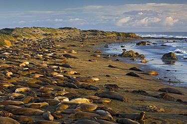 Northern Elephant Seal (Mirounga angustirostris) colony, Point Piedras Blancas, California  -  Ingo Arndt