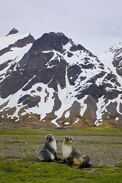 Antarctic Fur Seal (Arctocephalus gazella) pups, Stromness Bay, South Georgia Island  -  Ingo Arndt