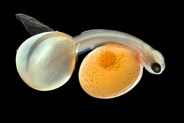 Brown Trout (Salmo trutta) alevin hatching from egg with full yolk sac, Europe  -  Ingo Arndt