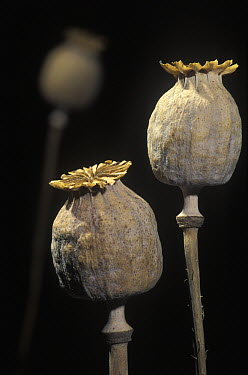Opium Poppy (Papaver somniferum) dry seed pods, Spain  -  Albert Lleal