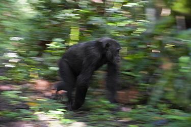 Chimpanzee (Pan troglodytes) male running, western Uganda  -  Suzi Eszterhas