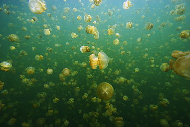 Jellyfish (Mastigias sp) group swimming, Jellyfish Lake, Palau  -  Hiroya Minakuchi