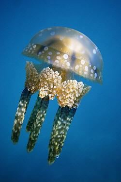 Papuan Jellyfish (Mastigias papua), Palau  -  Hiroya Minakuchi