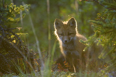 Red Fox (Vulpes vulpes) pup, Alaska  -  Michael Quinton