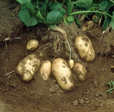 Potato (Solanum tuberosum) group, mature variety called Charlotte, England  -  Nigel Cattlin/ FLPA