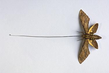 Morgan's Sphinx (Xanthopan morgani) moth, pinned specimen showing extraordinarily long extended tongue, Andasibe-Mantadia National Park, Madagascar  -  Nick Garbutt/ npl