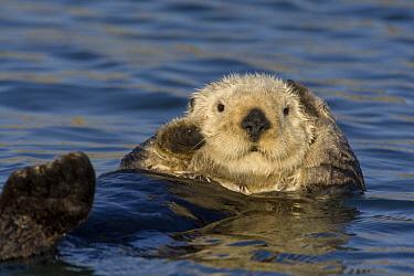 Sea Otter (Enhydra lutris) grooming fur, Monterey Bay, California  -  Suzi Eszterhas
