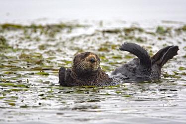 Sea Otter (Enhydra lutris) in eelgrass, Monterey Bay, California  -  Suzi Eszterhas