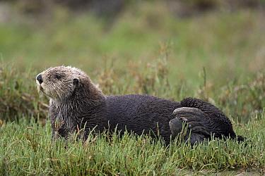 Sea Otter (Enhydra lutris) hauled out in pickleweed, Monterey Bay, California  -  Suzi Eszterhas
