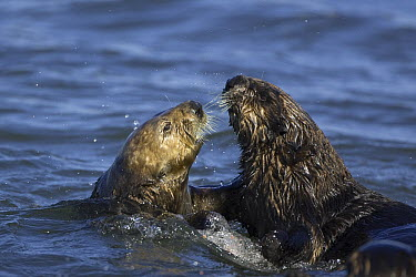 Sea Otter (Enhydra lutris) courtship behavior, Monterey Bay, California  -  Suzi Eszterhas