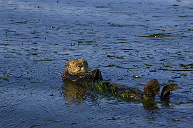 Sea Otter (Enhydra lutris) large male wrapped up in eelgrass, Monterey Bay, California  -  Suzi Eszterhas