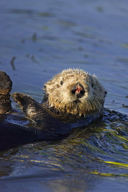 Sea Otter (Enhydra lutris) female with wounded nose after mating, Monterey Bay, California  -  Suzi Eszterhas