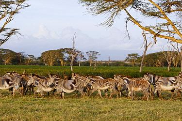Grevy's Zebra (Equus grevyi) herd at perennial swamp, Lewa Wildlife Conservation Area, northern Kenya  -  Suzi Eszterhas