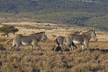Grevy's Zebra (Equus grevyi) territorial behavior of stallion, Lewa Wildlife Conservation Area, northern Kenya  -  Suzi Eszterhas