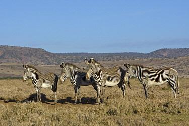 Grevy's Zebra (Equus grevyi) group, Lewa Wildlife Conservation Area, northern Kenya  -  Suzi Eszterhas