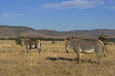 Grevy's Zebra (Equus grevyi) pair, Lewa Wildlife Conservation Area, northern Kenya  -  Suzi Eszterhas