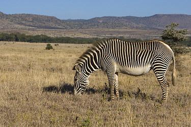 Grevy's Zebra (Equus grevyi) grazing, Lewa Wildlife Conservation Area, northern Kenya  -  Suzi Eszterhas