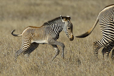 Grevy's Zebra (Equus grevyi) young foal running, Lewa Wildlife Conservation Area, northern Kenya  -  Suzi Eszterhas