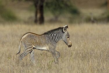 Grevy's Zebra (Equus grevyi) young foal, Lewa Wildlife Conservation Area, northern Kenya  -  Suzi Eszterhas