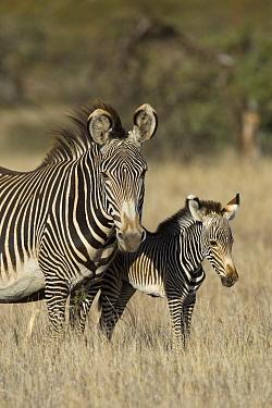 Grevy's Zebra (Equus grevyi) mother and young foal, Lewa Wildlife Conservation Area, northern Kenya  -  Suzi Eszterhas