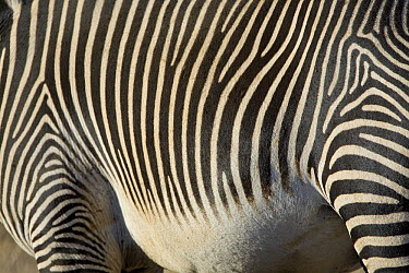 Grevy's Zebra (Equus grevyi) hide, Lewa Wildlife Conservation Area, northern Kenya  -  Suzi Eszterhas