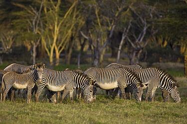 Grevy's Zebra (Equus grevyi) herd grazing on green grass at perennial swamp, Lewa Wildlife Conservation Area, northern Kenya  -  Suzi Eszterhas