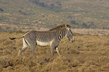 Grevy's Zebra (Equus grevyi), Lewa Wildlife Conservation Area, northern Kenya  -  Suzi Eszterhas