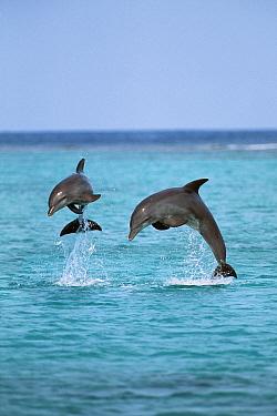 Bottlenose Dolphin (Tursiops truncatus) pair leaping, Caribbean  -  Konrad Wothe