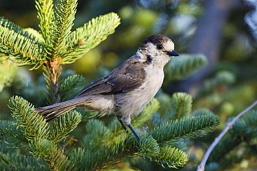 Canada Jay (Perisoreus canadensis) in pine, Olympic National Park, Washington  -  Konrad Wothe