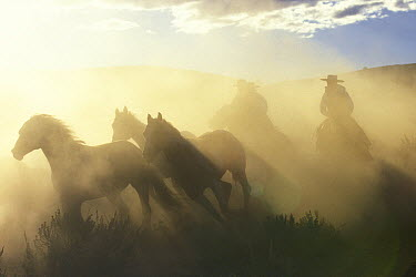 Domestic Horse (Equus caballus) group wrangled by cowboys, Oregon  -  Konrad Wothe