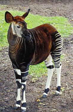 Okapi (Okapia johnstoni), native to the Democratic Republic of Congo  -  Konrad Wothe