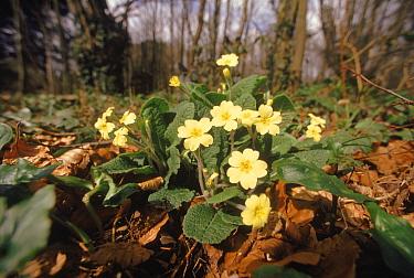 Primrose (Primula vulgaris) flowers, Devon, England  -  John Downer/ npl