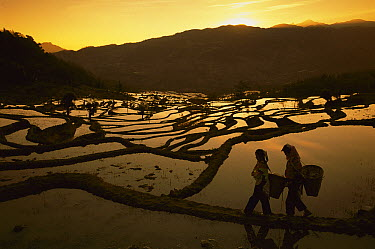 Rice (Oryza sativa) terraces and two people, Yunnan, China  -  Pete Oxford