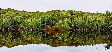 New Zealand Flax (Phormium sp) along shore near Okarito, New Zealand  -  Colin Monteath/ Hedgehog House