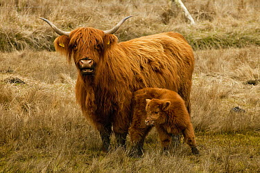 Highland Cattle (Bos taurus) mother and calf, Dunedin, Otago, New Zealand  -  Colin Monteath/ Hedgehog House
