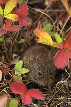 Northern Red-backed Vole (Clethrionomys rutilus) in strawberry plants, Alaska  -  Michael Quinton