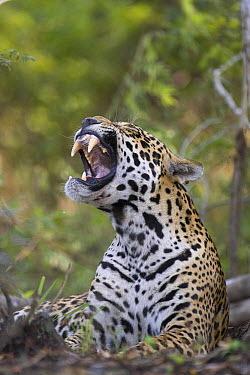Jaguar (Panthera onca) yawning, Cuiaba River, Brazil  -  Suzi Eszterhas