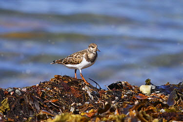 Ruddy Turnstone (Arenaria interpres) on seaweed, western Newfoundland, Canada  -  Scott Leslie