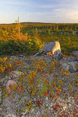Reindeer Moss (Cladonia rangiferina), Sheep's Laurel (Kalmia angustifolia), and Black Spruce (Picea mariana) at sunset, Canada  -  Scott Leslie