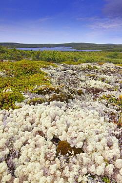 Reindeer Moss (Cladonia rangiferina) on tundra, southern Labrador, Canada  -  Scott Leslie