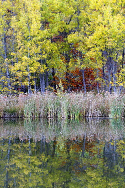 Quaking Aspen (Populus tremuloides) trees along water in autumn, Nova Scotia, Canada  -  Scott Leslie