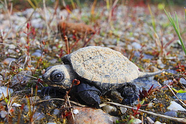 Snapping Turtle (Chelydra serpentina) hatchling, Nova Scotia, Canada  -  Scott Leslie