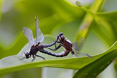 Common Skimmer (Sympetrum frequens) dragonfly pair mating, Nova Scotia, Canada  -  Scott Leslie