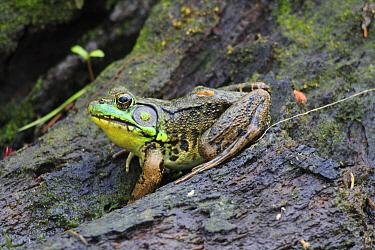 Northern Green Frog (Rana clamitans melanota) on tree trunk, Nova Scotia, Canada  -  Scott Leslie