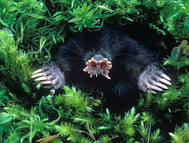 Star-nosed Mole (Condylura cristata) emerging out of hole in moss, Europe  -  Dembinsky Photo Ass./ FLPA