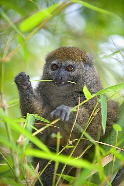 Eastern Lesser Bamboo Lemur (Hapalemur griseus) eating bamboo, Madagascar  -  Kevin Schafer