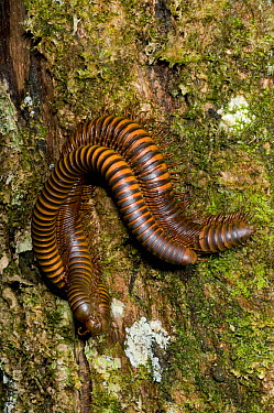 Millipedes mating on tree trunk, Marojejy National Park, Madagascar  -  Kevin Schafer