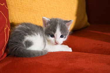 Domestic Cat (Felis catus) kitten on sofa, Germany  -  Konrad Wothe